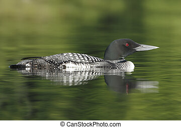 Common Loon - Haliburton, Ontario - Common Loon (Gavia...