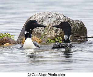 Common Loon (Gavia immer) pair in breeding plumage on a northwoods lake in Wisconsin.