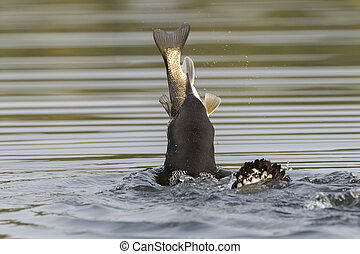 Common Loon swallowing a huge White Sucker in late summer - Ontario, Canada