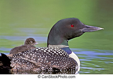 Common Loon with chick on back