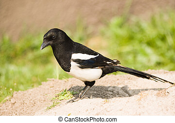 European Magpie or Common Magpie - bird from crow family