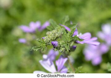Common mallow flower bud - Latin name - Malva sylvestris