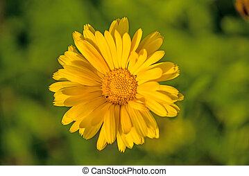 common marigold in a garden