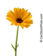 Common marigold isolated on white background