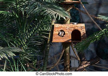 Common marmoset a small primate - Common marmoset small...