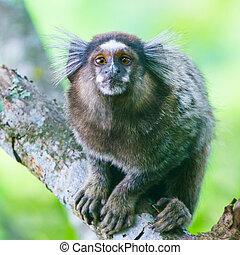 Common marmoset - Callithrix jacchus. - Common marmoset or...
