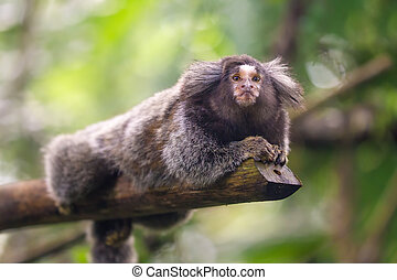 Common Marmoset Callithrix jacchus sitting in a tree,...