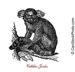 Common marmoset monkey, vintage engraving portrait