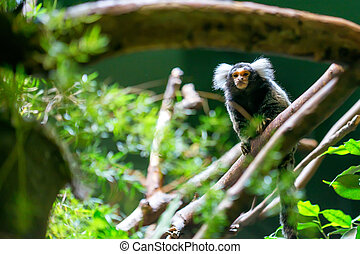 Common marmoset or Callithrix jacchus is a New World small...