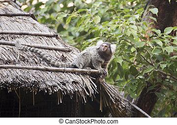 Common Marmoset - Close up Common Marmoset sitting on the...