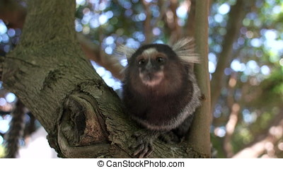 Common marmoset - Curious marmoset looking at camera