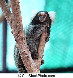Common Marmoset - Close up Common Marmoset on the tree