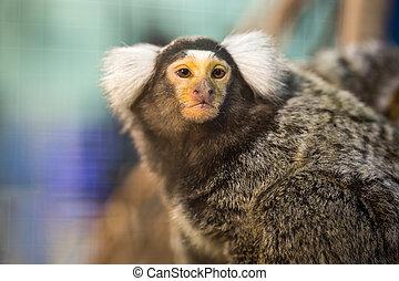 Common Marmoset.