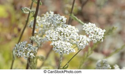 Common medicinal herbs of Germany, clover,sage, valerian,...