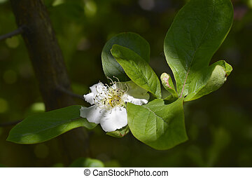 Common medlar - Latin name - Mespilus germanica