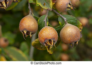 Common medlar - Mespilus germanica - Common medlar, fruits ...