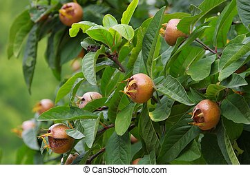 common medlar on tree