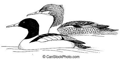 Common Merganser - Mergus merganser
