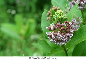 Common Milkweed #2