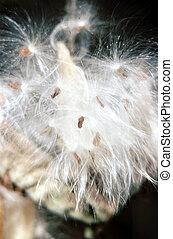 Common Milkweed  G-2486