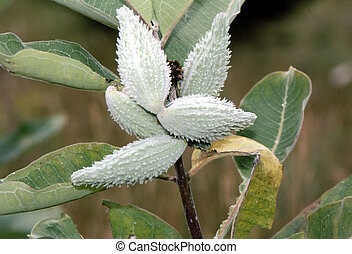 Common Milkweed  H-1441