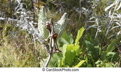 milkweed - common milkweed plant showing the seed pods