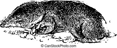 Common mole rat or Cryptomys hottentotus vintage engraving