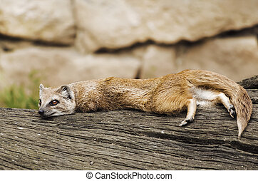 Mongoose - Common Mongoose Lying On The Tree
