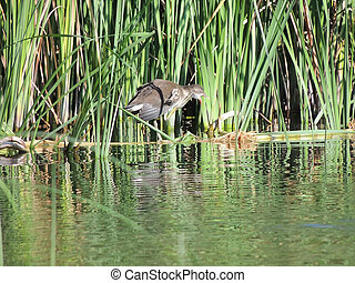 Common moorhen 3-4 months old with an open beak in the reeds...