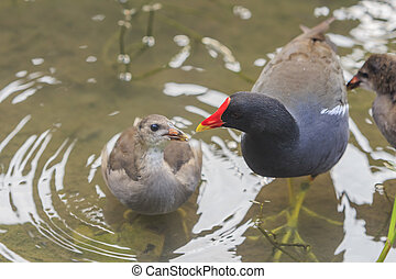 Common Moorhen is feeding his child in water