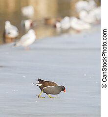 Common moorhen (swamp chicken) on ice - Gallinula chloropus,...