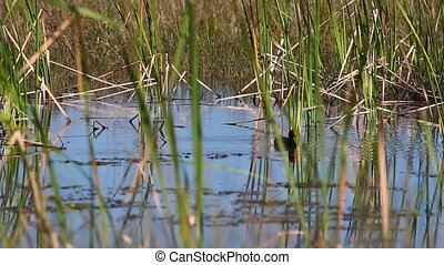 Common Moorhen swimmimg in marsh - Common Moorhen, Gallinula...