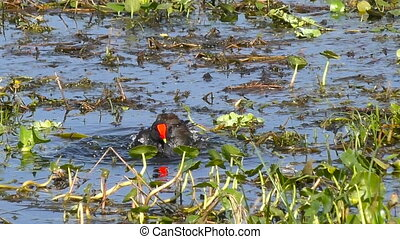 Common Moorhen Taking a Bath. Slow Motion.
