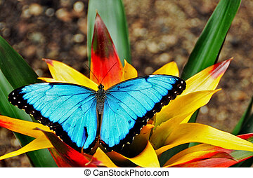 Common Morpho - Bright blue common morpho on a bromeliad...