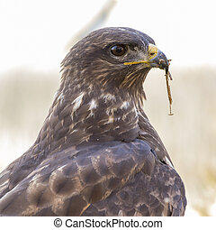 Common mousetrap (Buteo buteo) portrait