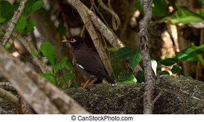Common Myna -Acridotheres tristis- on jungle near Karon...