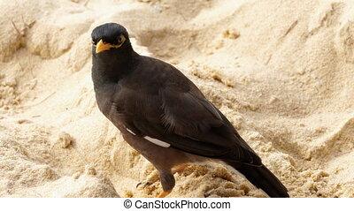 Common Myna -Acridotheres tristis- on sand of Karon beach,...