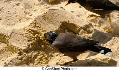 Common Myna -Acridotheres tristis- on sand of Karon beach,...
