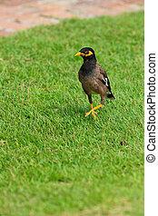 Common Myna bird on the grass