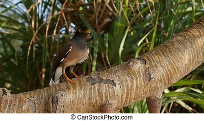 Common myna or Acridotheres tristis on a tree branch in a tropical forest. Closeup. 4k