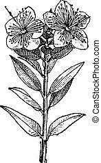 Common Myrtle or Myrtus communis, vintage engraving
