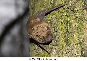Common Noctule (Nyctalus noctula) - A bat is resting on a...