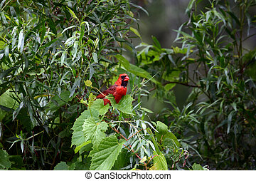 Cardinal - Common Northern Cardinal Sitting on a Grapevine