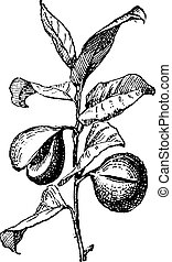 Common Nutmeg or Myristica fragrans, showing fruit, vintage engraved illustration. Dictionary of Words and Things - Larive and Fleury - 1895