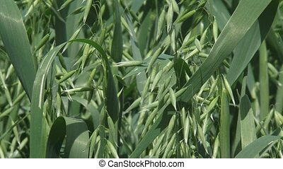common oat plants, avena sativa - close up