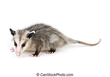 Common Opossum - Young opossum on white background
