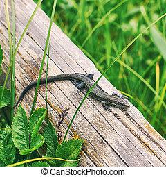 Common or viviparous lizard, zootoca vivipara on an old...
