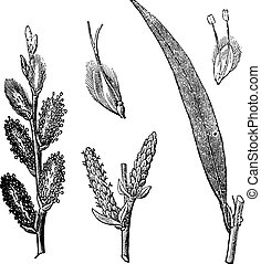 Common Osier or Salix viminalis vintage engraving