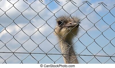 common ostrich struthio camelus animal head behind zoo fence on cloudy sky background. Closeup shot. 4K