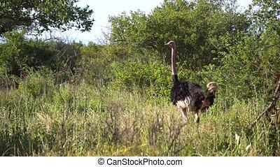 Common Ostrich in Tanzania National Park. African Safari